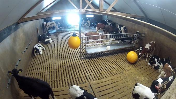 ферма с телятами. Апелдорн (Нидерланды)