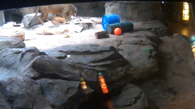 львы, зоопарк Милуоки (США)