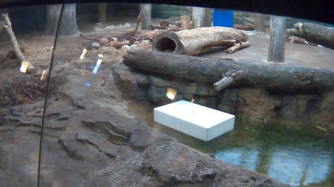 амурские тигры, зоопарк Милуоки (США)