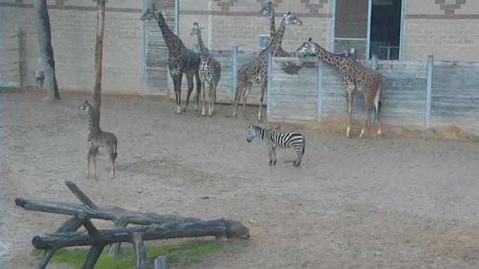 Жирафы. Зоопарк Сан Диего (США)