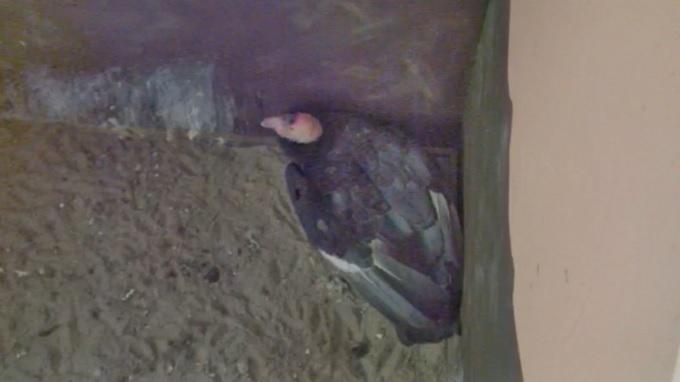 Андский кондор. Зоопарк Сан Диего (США)