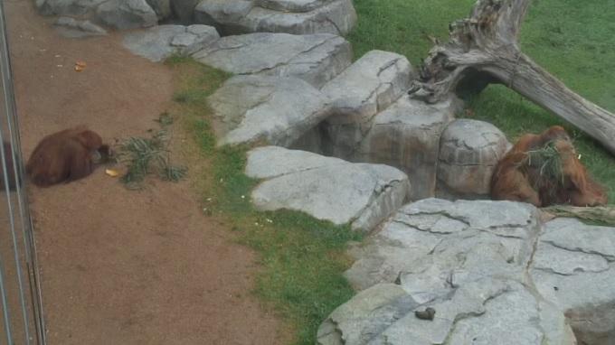обезьяны. Зоопарк Сан Диего (США)