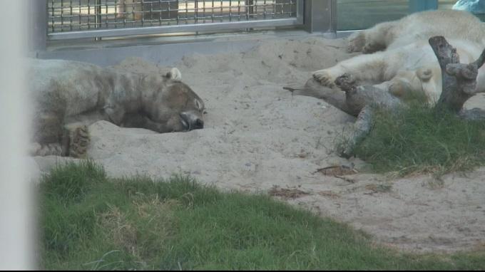 Зоопарк, белые медведи. Сан-Диего, Калифорния (США)