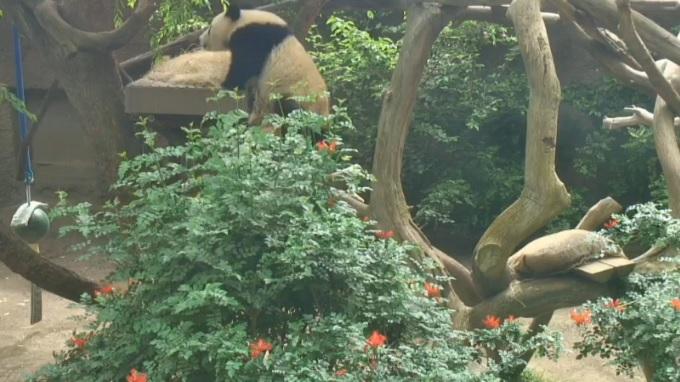 зоопарк, панда. Сан-Диего, Калифорния (США)